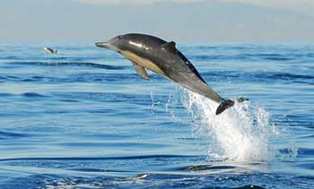 As the dolphins live in the muddy river water their eyesight has degenerated and the have become partially blind. Although they can detect light and ...